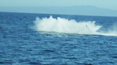 Breaching Humpback whale aquatic mammal — Stock Video