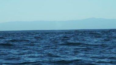 Humpback Whale tail Fluke mammal swimming coastline — Stock Video