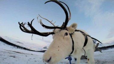 White Reindeer resting — ストックビデオ