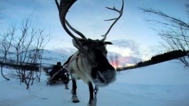 Norwegian Reindeer pulling sledge — Stock Video