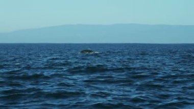 Humpback Whale tail Fluke mammal swimming coastline, Pacific Ocean, USA — Stock Video
