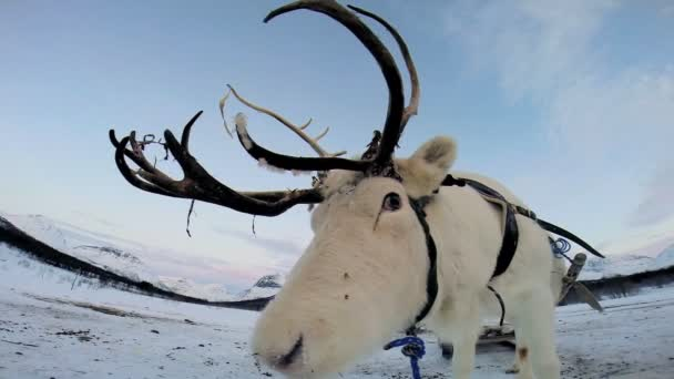 White Reindeer resting — Vídeo de stock