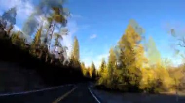 Driving roadside spruce trees — Stock Video
