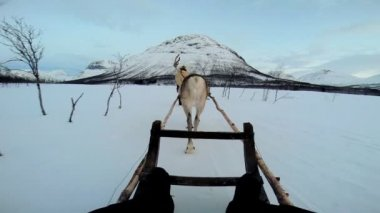 Reindeer pulling tourists in sledge — Stockvideo