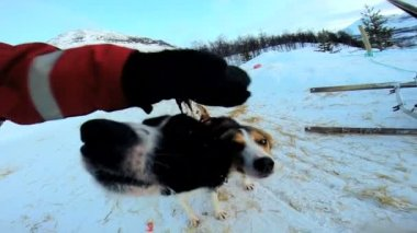 Norwegian Sled dogs resting — Stock Video