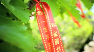 Wishing Tree Banyan of  happiness wealth and prosperity — Stock Video