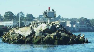 Sea lions rocks aquatic mammal, Monterey Harbour, California, USA — Stock Video