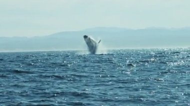 Breaching Humpback Whale Pacific Ocean mammal, coastline — Stock Video