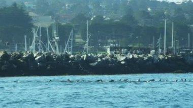 Colony Sea lions Monterey harbour Pacific coast, California, USA — Stock Video