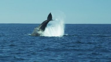 Tail of Humpback Whale fluke Pacific ocean, Monterey, USA — Stock Video