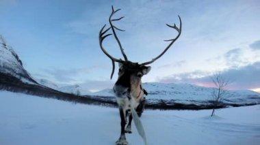 Norwegian Reindeer pulling sledge — Stock Video