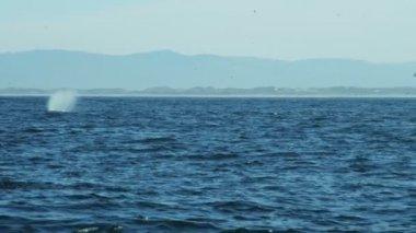 Humpback Whales ocean mammal swimming coastline — Stock Video