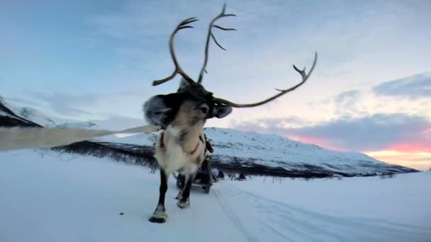 Tirando trineos de renos Noruega — Vídeo de stock