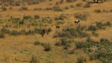Herd of Wild horses grazing on rangeland — Stock Video
