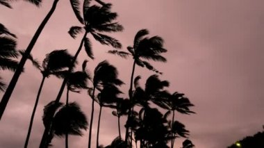Palm trees Tropical storm Cyclone landfall — Stock Video