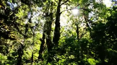 Rain Forest Wilderness with conifer trees — Stock Video
