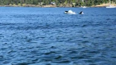 Orcinus orca whale swimming in ocean waters — Stock Video