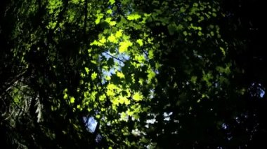 Canopy of green trees leaves — Stock Video