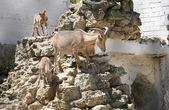Mountain goats in Zoo — Stock Photo