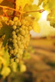 Sunset in vineyards — Stock Photo