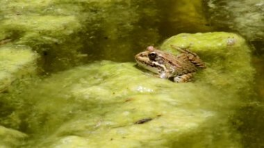 Common frog, sitting in garden pond edge and jumping at the clip end — Stock Video