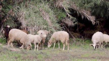 Стадо овец, пасущихся на средиземноморском поле — Стоковое видео