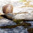 Active garden snail crawling (Species: Helix aspersa or Cornu aspersum). Is a herbivore animal and has a wide range of host plants. known as agricultural and garden pest and also edible delicacy. — Stock Video #60727865