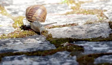 Active garden snail crawling (Species: Helix aspersa or Cornu aspersum). Is a herbivore animal and has a wide range of host plants. known as agricultural and garden pest and also edible delicacy. — Stock Video