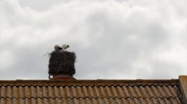 Stork's standing in nest on top of old abandoned industrial chimney — Stock Video