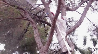 Pest control spraying in Pine tree (species: Pinus pinea) with chemicals against Processionary worms — Stock Video