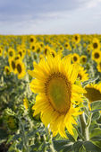 Sunflower, Species, Helianthus annuus, crop landscape, Andalusia — Stock Photo