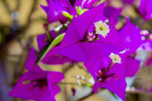 Bougainvillea spectabilis flower detail. This species is native — Stock Photo