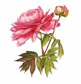 Růžová Pivoňka květ botanické akvarel — Stock fotografie