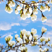 Magnolia flowers reflected in the water — Stock Photo