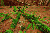 Green moss coats a deadfall in scottish conifer forest — Stock Photo