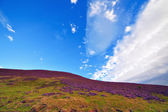 Colorful hill slope covered by violet heather flowers. — Stock Photo