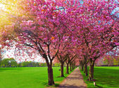 Walk path surrounded with blossoming plum trees — Stock Photo