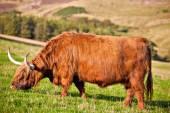 Mucca highland di angus — Foto Stock