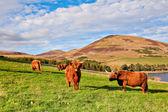 Highland angus cow — Stock Photo