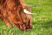 Highland angus cow — Stock Photo