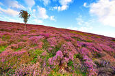 Hill slope covered by violet heather flowers and owan-tree — Stock Photo