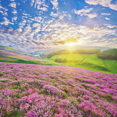 Colorful hill slope covered by violet heather flowers — Stock Photo