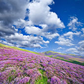 Colorful hill slope covered by violet heather flowers — Foto Stock