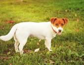 Cute puppy Jack Russell on the green grass — Stock Photo