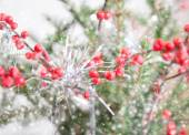 Rowan in snow, christmass background — Stock Photo