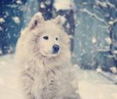 Fluffy white dog under the falling snow in winter — 图库照片