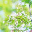 Branch of a blossoming apple tree in soft focus with bokeh — Stock Photo #71302701