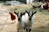 Grazen in de tuin van de boerderij — Stockfoto