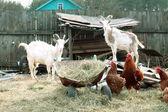 выпас скота на дворе фермы — Стоковое фото