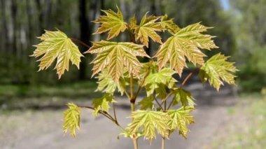 Norway maple arboret, No.1 — Stock Video